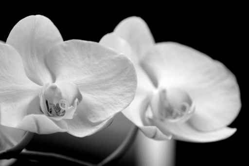 ORCHIDS BLACK AND WHITE PHOTO