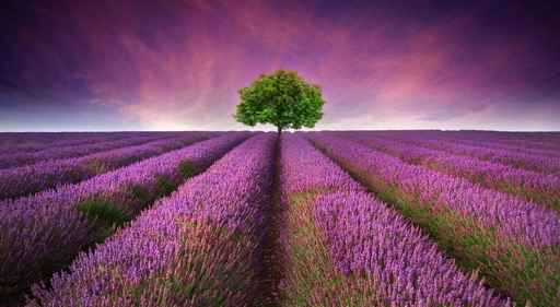 LAVENDER LANDSCAPE SUMMER SUNSET